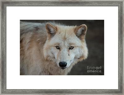 The Big Beautiful Wolf Framed Print