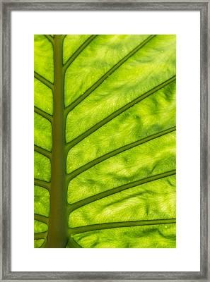 The Big Leaf Framed Print
