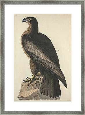 The Bird Of Washington Or Great American Eagle Framed Print