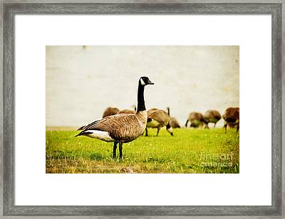 The Black Canada Goose Framed Print by MaryJane Armstrong