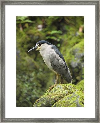The Black Crowned Night Heron Framed Print by Phil Stone
