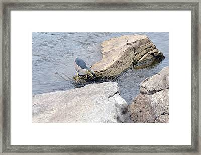 The Black-crowned Night-heron With His Catch Framed Print by Asbed Iskedjian