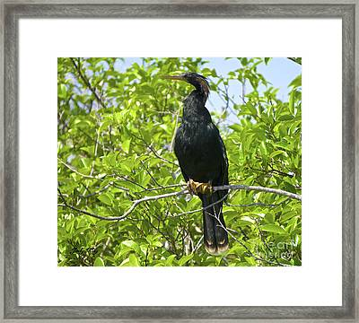 The Anhinga Framed Print by Judy Kay