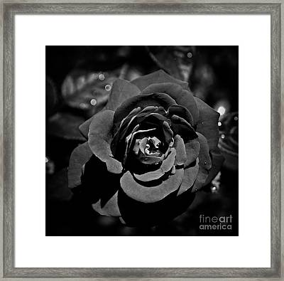 The Black Rose Framed Print by Skip Willits