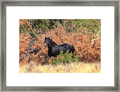The Black Stallion Framed Print by Rod Giffels