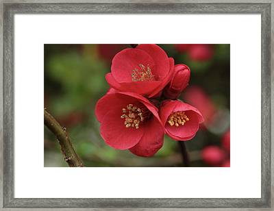 The Blooming Red Quince Framed Print