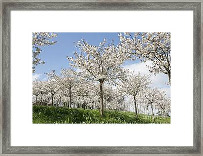 The Blossoming Of Spring Framed Print