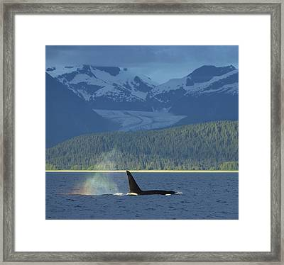 The  Blow  Of A Male Orca Whale Catches Framed Print by John Hyde