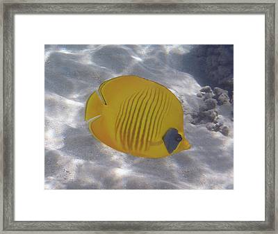 The Bluecheeked Butterflyfish Red Sea Framed Print