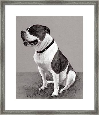 The Boss - Portrait Of An American Bulldog Framed Print by Ruthie K Sutter