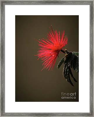 The Bottlebrush Framed Print by Robert Bales