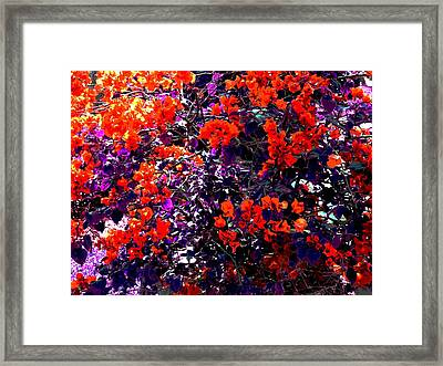 The Bougainvillea Poster Framed Print by Juana Maria Garcia-Domenech
