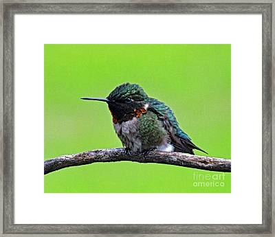 The Boys Are Back In Town- Ruby-throated Hummingbird Framed Print by Cindy Treger