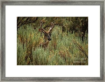 The  Buck  Framed Print by Robert Bales