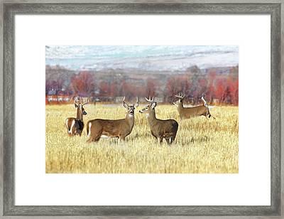 The Bucks Stop Here White-tail Deer  Framed Print