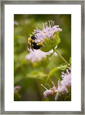 The Bumble Bee Framed Print by Chad Davis