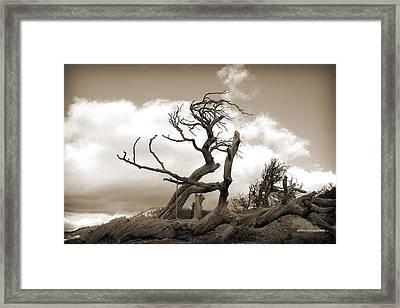 The Burmis Tree Framed Print by Tom Buchanan