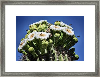 Framed Print featuring the photograph The Busy Little Bees On The Saguaro Blossoms  by Saija Lehtonen