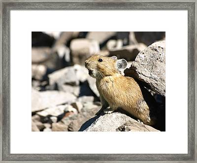 The Call Of The Pika Framed Print