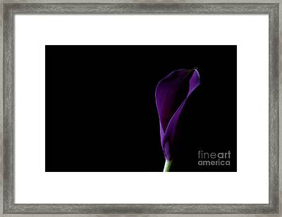 The Calla Purple 1 Framed Print by Steve Purnell