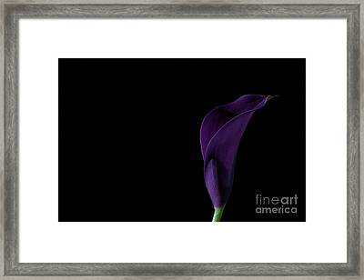 The Calla Purple 2 Framed Print by Steve Purnell
