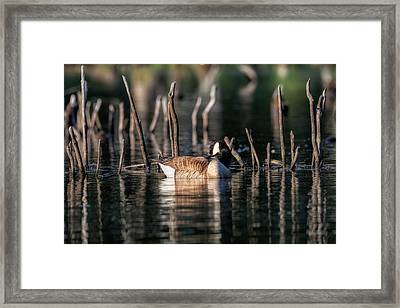 The Canada Goose Framed Print