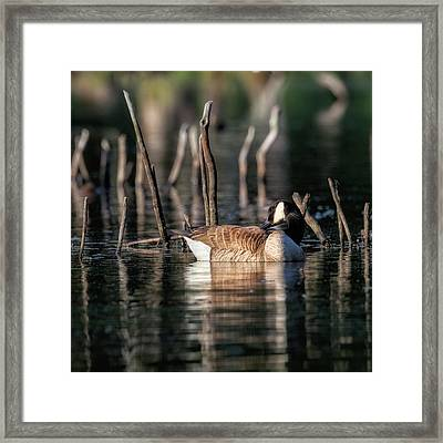 The Canada Goose Square Framed Print