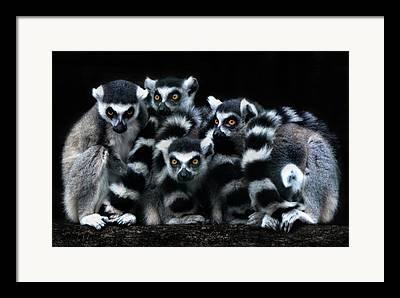 Lemur Catta Framed Prints