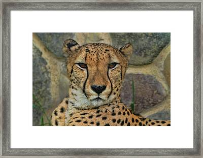 The Cheetah Framed Print by Dan Sproul