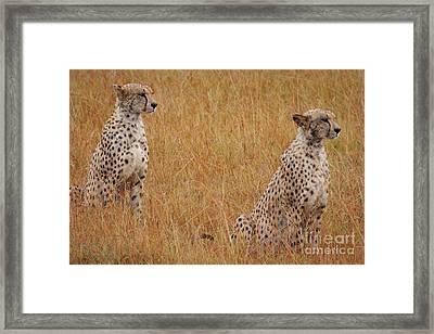 The Cheetahs Framed Print by Nichola Denny