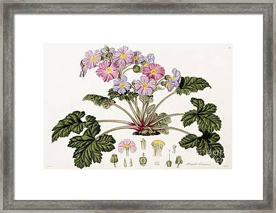 The Chinese Primrose Framed Print by William Hooker