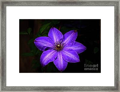The Clematis Framed Print