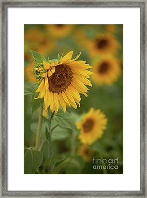 The Close Up Of Sunflowers Framed Print