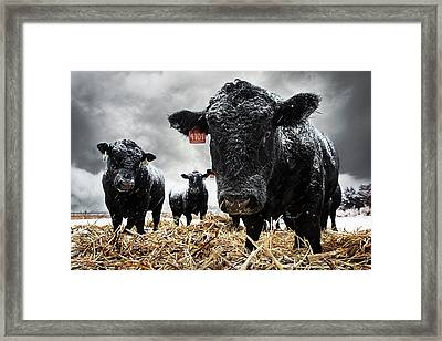 The Cold Is Bull..... Framed Print by Thomas Zimmerman