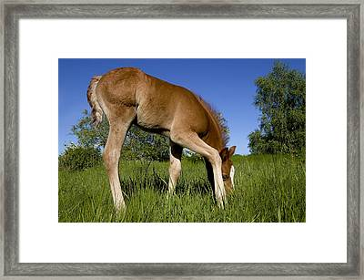 The Colt Framed Print