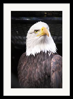 Eagle Framed Prints