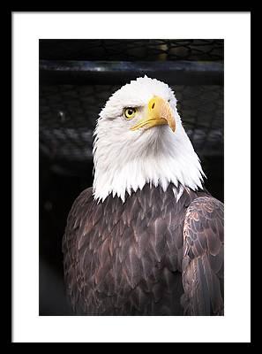 Bald Eagle Framed Prints