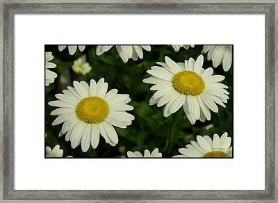 The Common Daisy Framed Print