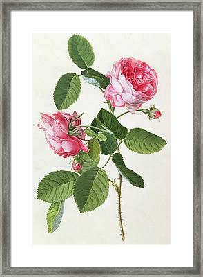The Common Provence Rose Framed Print