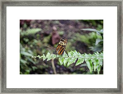 The Common Tiger Framed Print by Michelle Meenawong