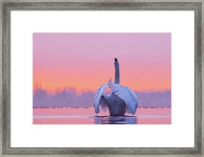 The Conductor - Mute Swan At Sunset Framed Print