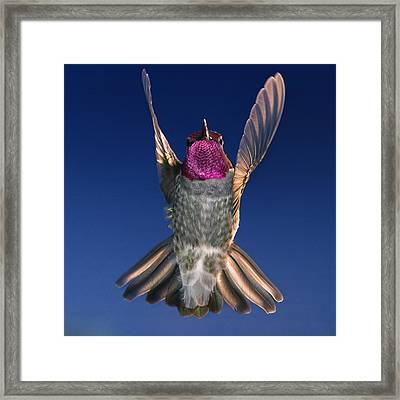 The Conductor Of Hummer Air Orchestra Framed Print