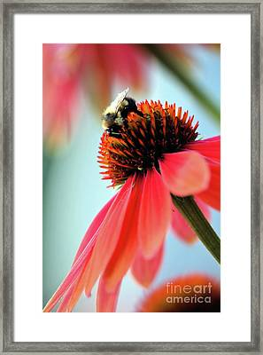 The Coneflower Collection 2 Framed Print