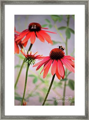 The Coneflower Collection Framed Print