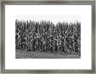 The Cornfield Framed Print by Paul Ward