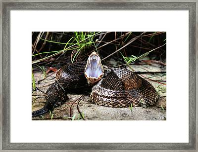 The Cottonmouth Framed Print by JC Findley