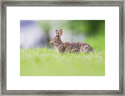 The Cottontail Framed Print