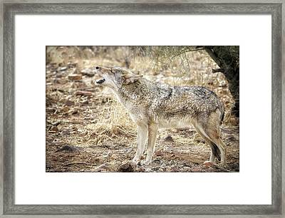 The Coyote Howl Framed Print