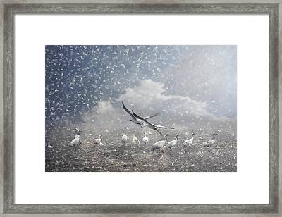 the cranes of Fischland Framed Print by Joachim G Pinkawa