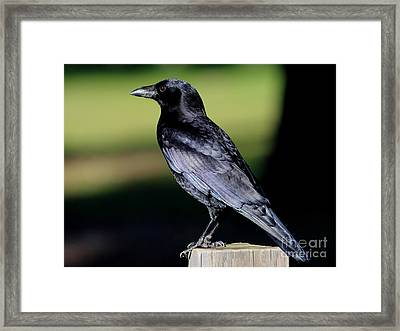The Crow Framed Print by Wingsdomain Art and Photography